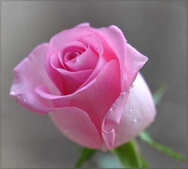 светът-на-розата