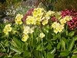 игликата-носи-името-на-пролетта